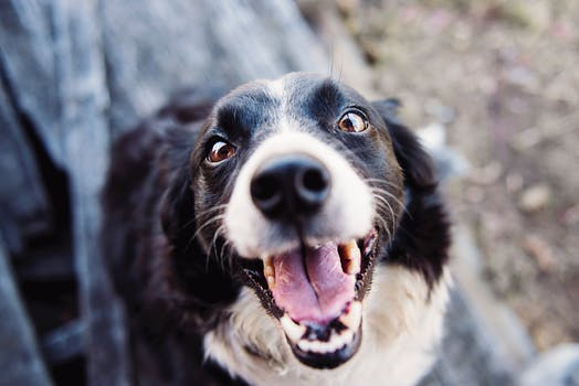 Happy Border Collie smiling into the camera at Trinity Row apartments.